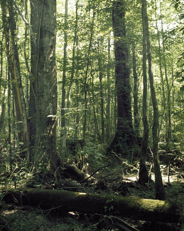 Great_dismal_swamp
