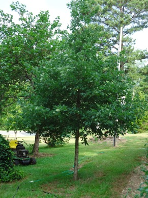In Arkansas from Sue's acorn: It's the front CENTER Tree! Story of my GG Grandfather cutting the top out... I had to do the same, because it was too thin for the wind! Soon afterwards. the shape was Beautiful as you can see!